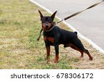 Small photo of Dog breeds mini pinscher in autumn on green grass