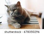 grey beauty british shorthair... | Shutterstock . vector #678350296