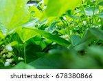 Bean Growing In Garden. Green...