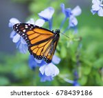 the monarch butterfly or simply ... | Shutterstock . vector #678439186