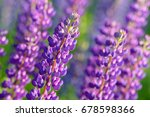 lupinus  lupin  lupine field... | Shutterstock . vector #678598366