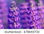 lupinus  lupin  lupine field... | Shutterstock . vector #678643732
