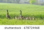 Pair Of Canada Geese And Their...