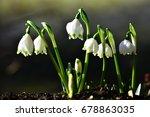 snowdrop  galanthus nivalis  | Shutterstock . vector #678863035