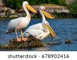 pelican or pink pelican in... | Shutterstock . vector #678902416