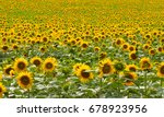 sunflowers garden. sunflowers... | Shutterstock . vector #678923956