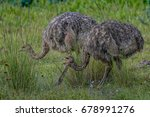 Two Wild African Ostrich...