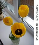 Three Yellow Tulips In A Glass...