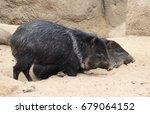 the collared peccary  pecari... | Shutterstock . vector #679064152