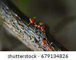macro shots  two ants walking...   Shutterstock . vector #679134826
