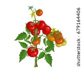 tomato bush with fruits and...