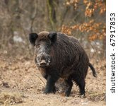 Wild Boar Face To Face  In A...