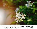 White Flower  Orange Jessamine...