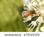 bee collecting pollen on white... | Shutterstock . vector #679225192