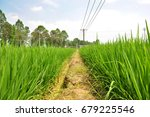 rice paddy in the farm .... | Shutterstock . vector #679225546