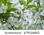 the spring blooming of an apple ... | Shutterstock . vector #679236802