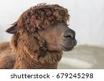 brown alpaca face close up | Shutterstock . vector #679245298