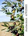 Mature olives on tree. - stock photo