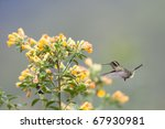 Small photo of Speckled Hummingbird (Adelomyia melanogenys maculata), feeding on yellow flowers.