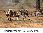 The African Wild Dog  Lycaon...