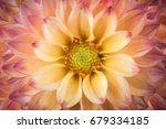 Dahlia Colorful Flower Macro...