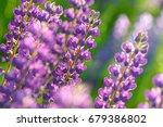 lupinus  lupin  lupine field... | Shutterstock . vector #679386802