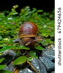 Small photo of Achatina fulica, snail in Thailand.
