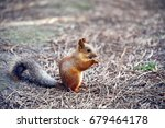 red squirrel eating sunflower... | Shutterstock . vector #679464178