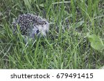 young hedgehog in the green... | Shutterstock . vector #679491415