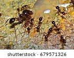 macro shots  many of ants on... | Shutterstock . vector #679571326