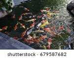 Small photo of A number of carps in the water.