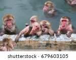 Snow Monkeys  Japanese Macaque  ...