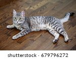 Gray Striped Cat Lying On The...