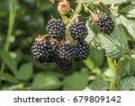 shrubby blackberry  rubus... | Shutterstock . vector #679809142