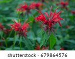 Crimson Bee Balm Wildflowers I...
