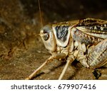 grasshoppers are insects of the ...   Shutterstock . vector #679907416