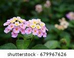 close up of pink lantana camara ... | Shutterstock . vector #679967626