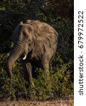 Small photo of African elephant /Breakfast