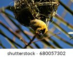 Small photo of Southern masked weaver making nest
