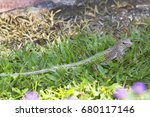 Small photo of giant ameiva, Ameiva ameiva, sitting alerted in grass of garden