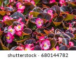 colorful begonia in summer... | Shutterstock . vector #680144782