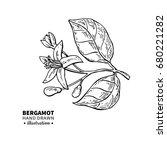 bergamot flower branch vector... | Shutterstock .eps vector #680221282