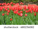 multicolored tulips against the ... | Shutterstock . vector #680256082