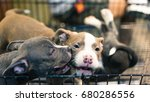 two puppies pitbull terrier... | Shutterstock . vector #680286556