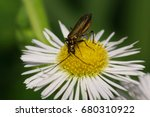 Small photo of Macro view from above of a green-bronze beetle Alleculidae with long antennas and paws sitting on yellow stamens flower of the Caucasus Erigeron