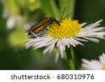 Small photo of Macro side view of a green-bronze beetle Alleculidae with long antennas and paws sitting on a yellow-white flower of the Caucasus Erigeron
