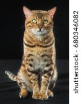 the gold bengal cat on black... | Shutterstock . vector #680346082
