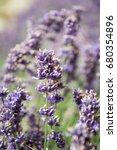 amazing english lavender... | Shutterstock . vector #680354896