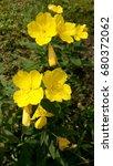 Small photo of Evening primrose