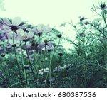 pink cosmos flowers blooming in ... | Shutterstock . vector #680387536